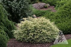 Tsuga canadensis 'Moon Frost' A dwarf white variety of Canadian Hemlock. Bright, white, new growth with older, inner foliage that retains a light tone combine to give this plant a distinctly white app Small Evergreen Shrubs, Evergreen Garden, Trees And Shrubs, Trees To Plant, Evergreen Landscape, Evergreen Trees, Forest Landscape, Fairy Garden Plants, Garden Shrubs