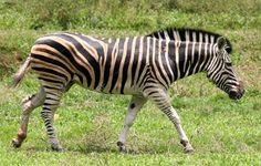 Side View Of A Lone African Zebra Walking Along A Green Plain. Stock Photo, Picture And Royalty Free Image. Image 434778.