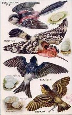 Postcard images from the original painting by M. Bird Illustration, Illustrations, Bird Drawings, Animal Drawings, Vintage Birds, Vintage Art, Hoopoe Bird, Fauna, Wildlife Art