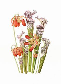 Pack principiantes 'Sarracenia'