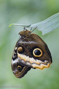 ~~Owl Butterfly (Caligo atreus dionysos) by _Critterpix~~