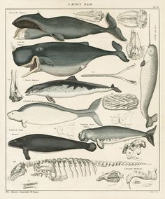 design-is-fine:Lorenz Oken, Wale / Whale, Allgemeine Naturgeschichte für alle… Antique Illustration, Botanical Illustration, Illustration Art, Historia Natural, Whale Art, Wale, Sea Monsters, Fauna, Science And Nature