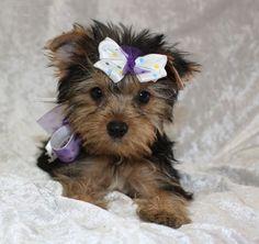 Teacup yorkie puppy.
