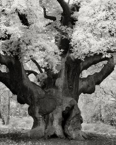 The Most Ancient and Magnificent Trees From Around the World | The Major's Oak. Edwinstowe, England, 2005. With its distinctive broad crown and imposing stature, this handsome tree has become one of the most famous oak trees in Britain.  It has a girth of 33 feet, an estimated weight of 23 tons, and a probable age of 800-1,000 years. According to local folklore, Robin Hood met with his merry men under this tree, while hiding from the Sheriff of Nottingham, and slept under its boughs at ...