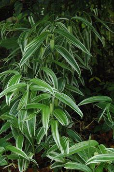 Disporum sessile 'Variegatum' (Fairybell) | Keeping It Green Nursery