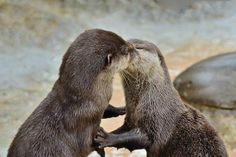 Diaz has not used deodorant in 20 years! Otter Kiss - It must be love: cute animals snuggle up for the camera - Yahoo News South AfricaOtter Kiss - It must be love: cute animals snuggle up for the camera - Yahoo News South Africa Animals Kissing, Cute Baby Animals, Animals And Pets, Funny Animals, Wild Animals, Otters Cute, Baby Otters, Significant Otter, Otter Love