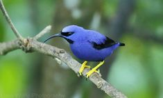 A Purple Honeycreeper seen from the verandah at the Asa Wright Nature Centre in the Caribbean island country of Trinidad. I spent 2 weeks there, and it was my introduction to tropical birding.