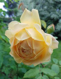 Golden celebration Austin Rose, Celebration, Flowers, Plants, Plant, Royal Icing Flowers, Flower, Florals, Floral