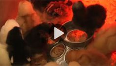 Incubating Chicken Eggs (Video) - Homesteading and Livestock - MOTHER EARTH NEWS