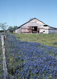 Bluebonnets, Bluebonnets and Barn, Texas Bluebonnets, Field of Bluebonnets, Spring Flowers, Flowers in Texas, Wildflower, Wall Photo Decor on Etsy, $20.00 | Repinned by @divanyoung