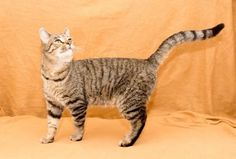 Elijah is a DSH who is available for adoption at the Humane Society  of Greater Dayton, Dayton, Ohio