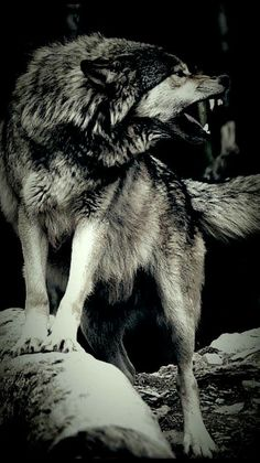 Wild,fierce and wonderful Wolf Images, Wolf Photos, Wolf Pictures, Animal Pictures, Wolf Hybrid, Wolf World, Angry Wolf, Wolf Husky, Wolf Stuff