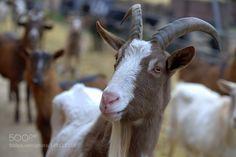 Hermann der Ziegenbock (Hermann the goat) by berndelsner via http://ift.tt/1SCAitf