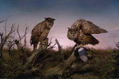 z- by felixexner - Owls (Diorama- Museum für Naturkunde, Berlin) -2b