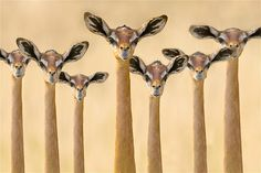 The African gerenuk is also known as the Waller's gazelle or giraffe-necked antelope, for obvious reasons.