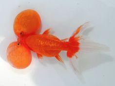 A+ bubble eye Bubble Eye Goldfish, Goldfish Bowl, Fish Aquariums, Aquarium Fish, Lovely Creatures, Sea Creatures, Types Of Gold, Going Fishing, Fish Art