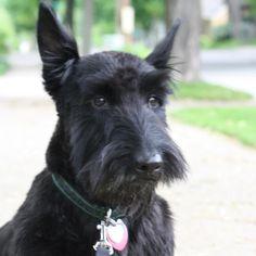 Happy Birthday Brandy   Modern Scottie Dog