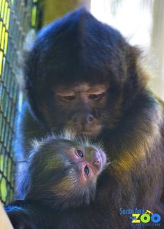 The Santa Ana Zoo in Prentice Park is pleased to announce the birth of a rareCrested Capuchin Monkey (Cebus robustus) on May 7.The new infant is the Zoos third birth of this species, which isconsidered endangered by theInternational Union for Conservation of NatureThis birth is an important contribution to the conservation program established inNorth America.