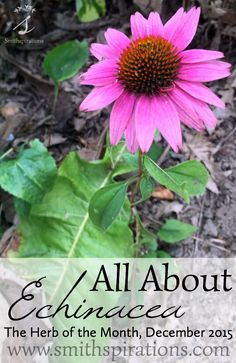 Echinacea is one of the most studied herbs and is often hailed for its beneficial actions on the immune system. Learn more about this herb and get a free printable herb card for the month of December!