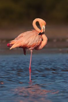 An American Flamingo in the Everglades