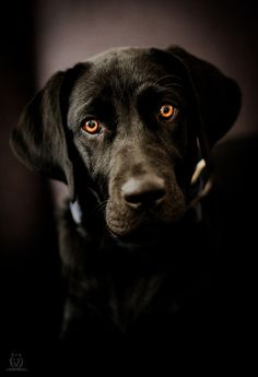 Beautiful Black Lab