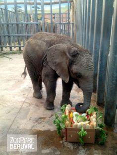 """Le jour de son anniversaire, l'équipe #éléphants de @ZooParc de Beauval (Officiel) a préparé un formidable """"gateau"""" d'anniversaire pour notre petit #Rungwe. Pains, carottes, céleris, pastèques, melons, sur un lit de bananes...et une endiveen guise de bougie ! Joyeux anniversaire Rungwe !"""