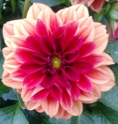 love the colors of this dahlia flower.