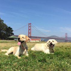 Sun bathing at Crissy Field Park - San Francisco, CA - Angus Off-Leash #dogs #puppies #cutedogs #dogparks #sanfrancisco #california #angusoffleash #goldenretrievers