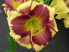HEMEROCALLIS  DESPERADO LOVE
