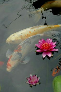 Koi fish and pink flowers