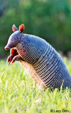 TPWmagazine.com - Texas Park & Wildlife Magazine [shown: Armadillo] - site has special offers, travel, bird watching, fishing, hunting, state parks, nature, photography, gear guide and more