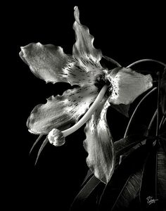 Silk Flower in Black and White