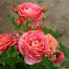 [17年5月中旬予約]四季咲中輪バラ:イーハトーブの香 新苗:バラの苗 通販 engei.net