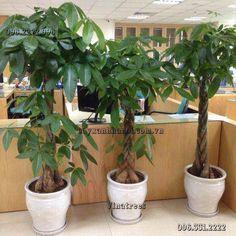 Dịch vụ cho thuê cây cảnh văn phòng Vinatrees - Cho thuê cây Kim Ngân tết đuôi sam http://cayxanhhanoi.com.vn/noi-dung/cho-thue-cay-canh-noi-that-155.html