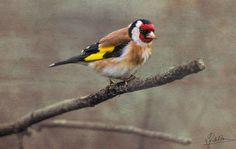 The Red Masketeer - The Red Masketeer (goldfinch bird)