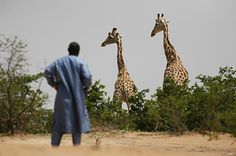 """Giraffes At Risk Of """"Silent Extinction"""" After Population Plunges By 40%"""