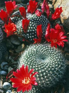 Silver Spined Cactus Produce Scarlet Summer Blooms  The rebutia krainziana produces dark green stems that resemble flattened spheres with tiny silver spines in a spiral pattern on the surface. Scarlet flowers appear in the summer.
