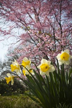 spring flowers, daffodils and cherry blossoms Spring Bulbs, Spring Blooms, Spring Flowers, Welcome Spring, Spring Sign, Spring Is Here, Spring Day, Spring Scenery, Spring Awakening