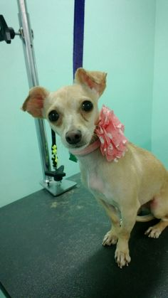 """Coco after her makeover... """"Nationally Ranked Award Winning Pet Stylists & Groomers! 5-Star Yelp Rating!""""  The UpScale Tail, Ltd., Pet Grooming Salon 630-632-TAIL www.theupscaletail.us"""