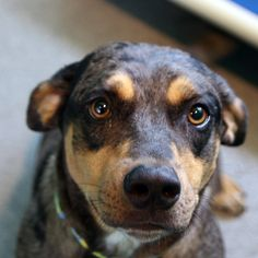 Boomer - SPCA of Texas (McKinney)