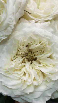 Wedding Colors   White Flowers   Wholesale Flowers