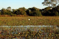 Pássaro tuiuiú passeando de boa na vegetação pantaneira.  Transpantaneira, Mato Grosso