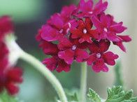 Verbena offer rounded clusters of small, burgundy-red flowers from midsummer to fall.