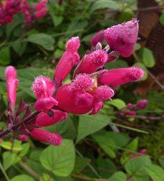 Salvia pulchella x involucrata  BLOOM CLOSE 12-11  GOOD jpg