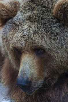 Grizzly bear by Jordi Payà Canals Bear Photos, Bear Pictures, Animal Pictures, Bear Pics, Photo Ours, Photo Animaliere, Beautiful Creatures, Animals Beautiful, Beautiful Things