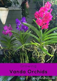Vanda orchids with beautiful flowers. These can easily be grown outside in the Florida garden!