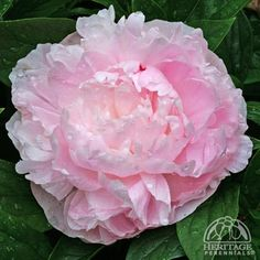 995 best peonies images on pinterest gardens peonies and peonies h paeonia lactiflora lady orchid blooms late spring through mid summer foliage is a deep green of upright bush flowers are large and light pink in mightylinksfo