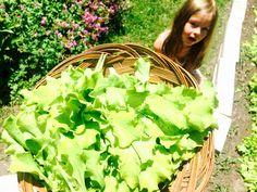 More Radishes & Some Crisp Garden Lettuce Lettuce, Crisp, Landscaping, Gardening, Board, Blog, Lawn And Garden, Blogging, Landscape Architecture