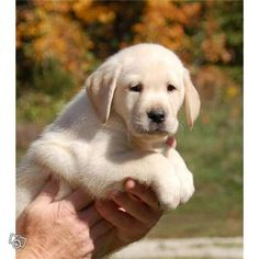 Labradors are the best dogs there are!
