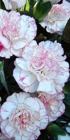 beautiful Pink edged carnations with amazing detail on the edge of the petals x